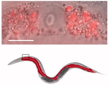 Nanopartikel im Darm des Fadenwurms c.elegans