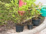 Diese Sträucher wurden gepflanzt
